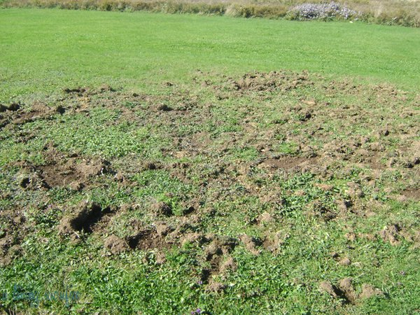 Do You Have Animals Digging For Grubs In Your Yard? | Dr  Green