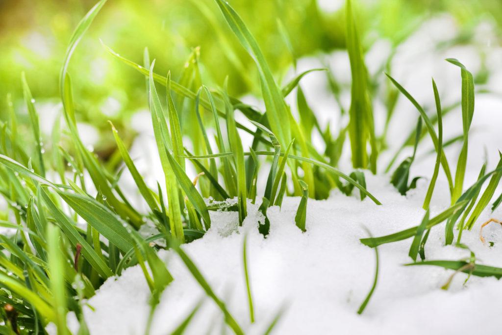 Spring Grass Through Snow Melt - Spring lawn maintenance