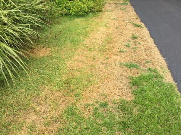 Chinch Bugs Can Damage Your Lawn