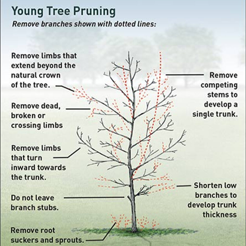 Ornamental Trees and Shrubs  Pruning