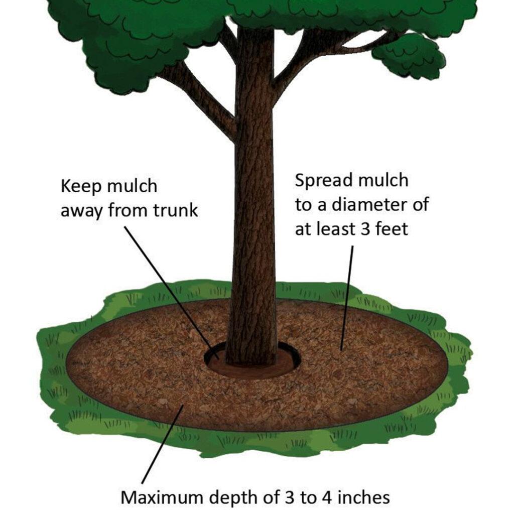Tree w proper mulch