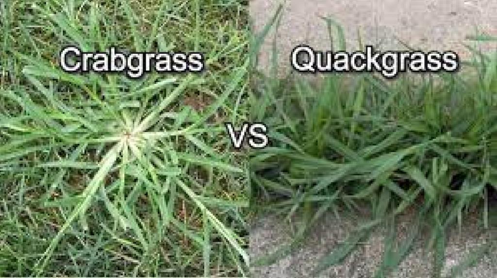 Common grassy weeds: Crabgrass vs Quack grass